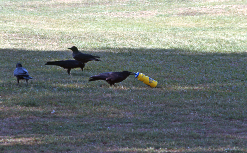 Crows drinking from a bottle